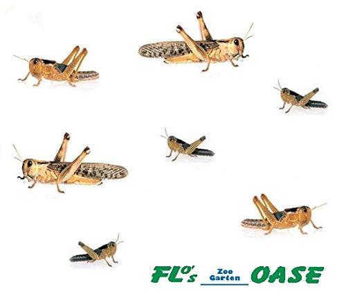 Heuschrecken Wanderheuschrecken MIX 100 Stück Futterinsekten Reptilienfutter Futtertiere Flos-Oase