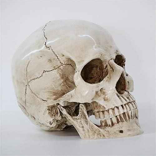 Yun Hoo 1 1 Menschlicher Schädel Modell Harz Schädel Skelett Kopf Medizinische Lehre Anatomische Anatomie Modell Menschlicher Schädel Real Size Student Teaching Supplies Amazon De Küche Haushalt