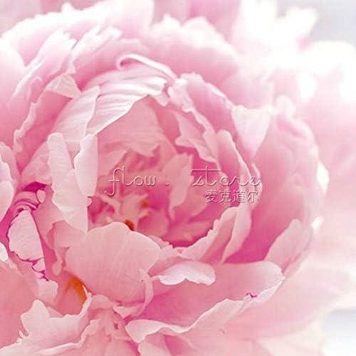 Hellgrau HONIC Chinesische Pfingstrose Bonsai 10 St/ück Blooming Hof Pflanzen Bunte Blumen in Bonsai Paeonia Suffruticosa Bonsai Als Nationale Zeichen