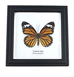 Real Common Tiger Butterfly Mounts Animals Display Insect Taxidermy in Framed
