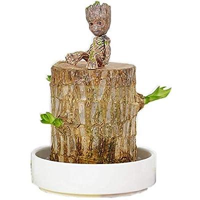 Brazil Lucky Badan Wood Hydroponic Potted Plant Stump Small Mini Plant Indoor Office Desktop Plant Idea (6): Garden & Outdoor
