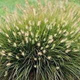 Fountain Grass 'Little Bunny' - Size: 1 Gallon - Live Potted Plants - Pennisetum
