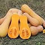 25 Seeds Waltham Butternut Squash Plant (Cucurbita moschata) Garden Vegetable