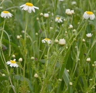 (Nuts n' Cones Wildflower - Corn Chamomile - 4000 Seeds)