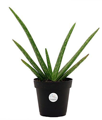 Cheap  Costa Farms Aloe Vera Live Indoor Plant in 4-Inch Grower Pot