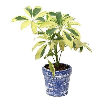 Buy Saphira Plant