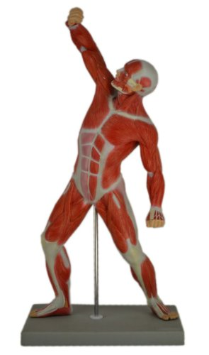 Wellden Anatomical Human Muscular Figure Model, 1/4 Life Size, 18.5''