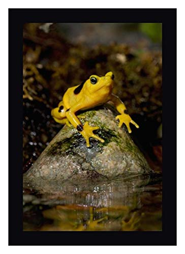 Panamanian Golden Frog, Native to Panama by San Diego Zoo 23