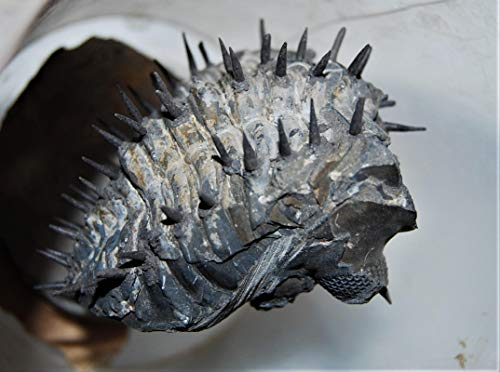 Drotops Spiny Trilobite Fossil Morocco 390 Mill Years Old #14376 28o by Fossils, Meteorites, & More (Image #2)