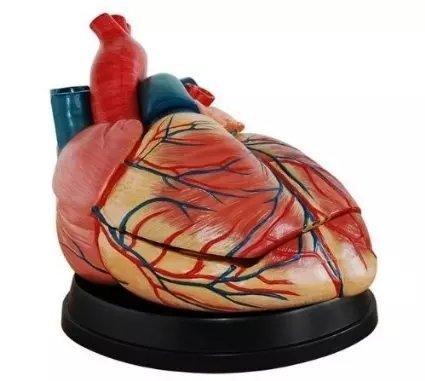 Zgood Human New Style Jumbo Heart Simulation Model Medical Anatomy Type:ZG-NW-201 ()