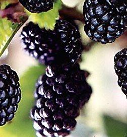 Natchez Thornless Blackberry Fruit Bush Seed - Blackberry Seeds