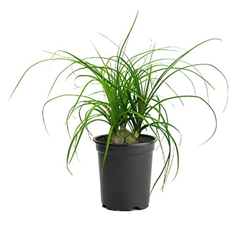 NGE Ponytail Palm Multiple Trunk Live Plant 1 Gallon Indoor Air Purifier ()