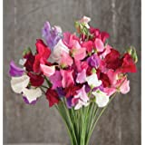 David's Garden Seeds Flower Sweet Pea Mammoth Choice Mix SL1408 (Multi) 50 Open Pollinated Seeds
