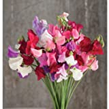 buy David's Garden Seeds Flower Sweet Pea Mammoth Choice Mix D1408 (Multi) 50 Open Pollinated Seeds now, new 2018-2017 bestseller, review and Photo, best price $8.49