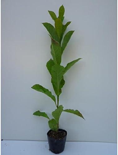 【5本セット】 コブシ 樹高0.5m前後 10.5cmポット こぶし 苗木 植木 苗 庭木 生け垣 5本 5