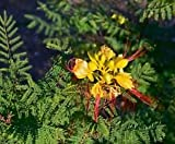 Caesalpinia gilliesii Yellow Bird of Paradise Shrub Seeds!