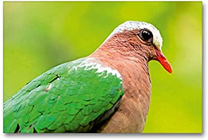 Premium - Lienzo de tela (90 x 60 cm, horizontal, aspecto exótico, paloma marrón con pico rojo, cuadro sobre bastidor) Stephani, Taiwan, Asia (CALVENDO Animal);CALVENDO Animales