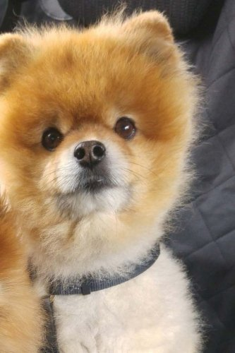 """Dwarf Spitz Pomeranian Journal: 150 lined pages, softcover, 6"""" x 9"""" by Wild Pages Press"""