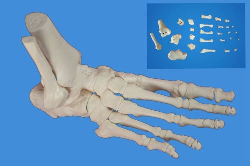 Wellden Medical Anatomical Foot Skeleton Model,disarticulated and Assembled By Magnets, Life Size ()