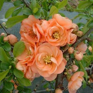 (1 Gallon) CAMEO Flowering Quince Unique and GORGEOUS Soft Peach Pink Flowers.Attractive Shrub. One of the Earliest Spring Blooms Flowering Quince Fruit