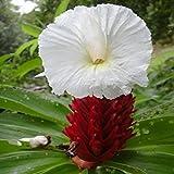 15 Seeds Costus Speciosus (Costus Speciosa, Crepe Ginger, Crape Ginger, Malay Ginger)