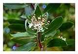 Drimys winteri - #Common_Name# Plant in 9cm Pot