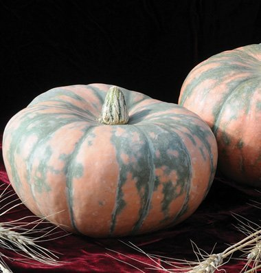 David's Garden Seeds Pumpkin Speckled Hound D2506 (Orange) 25 Hybrid Seeds