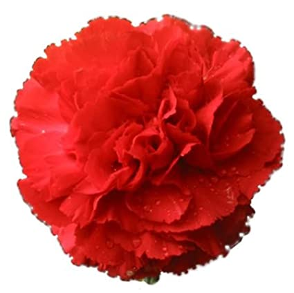 Amazoncom 50 Scarlet Red Carnation Caryophyllus Grenadin Flower