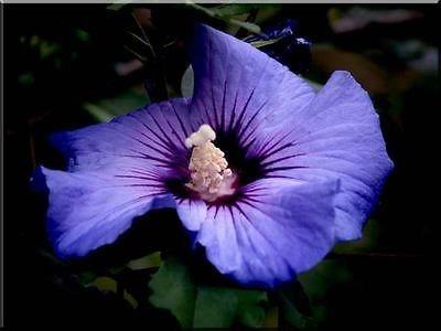 Amazoncom 50 Purple Double Rose Of Sharon Hibiscus Syriacus