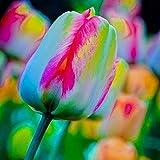 TEXXIS 100pcs/ Bag Rainbow Tulip Bulbs Seeds Garden Flower Plant Flowers