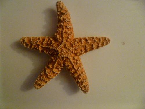 XL Sugar Starfish 7-8