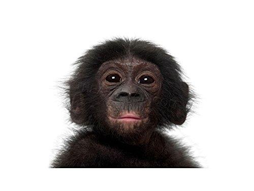 The Art Stop Photo Animal Bonobo Chimp Chimpanzee Baby Young Print F12X5212