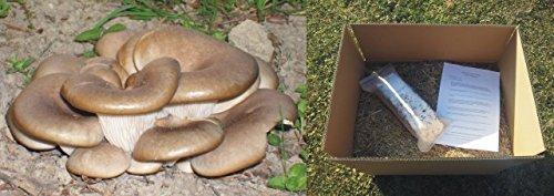 Austernpilz Bio-Pilzbeet, eigener kleiner Pilzgarten, komplettes Set