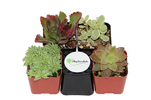 Shop-Succulents-Assorted-Succulent-Collection