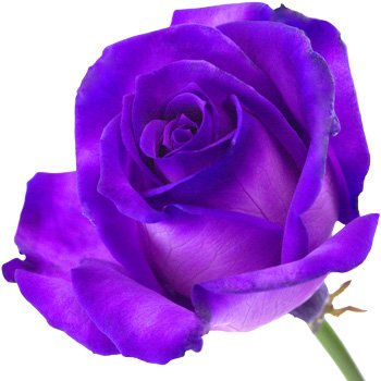 a fresh single purple rose presented in a luxury silk lined gift box