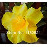 20+ Fresh Rare 'Yellow Love' Adenium Obesum Seeds - Bonsai Desert Rose Flower Plant Seeds