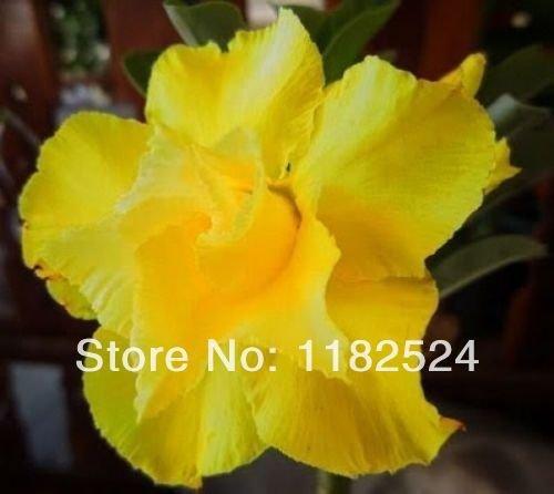 20+ Fresh Rare 'Yellow Love' Adenium Obesum Seeds - Bonsa...