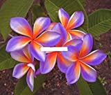 ''VIOLET-FOX'' FRAGRANT PLUMERIA'S CUTTING WITH ROOTED 7-12 INCHES REGISTERED TRACK ONLINE 100%GUARANTEE SATISFICATION