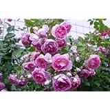 Kletterrose 'Jasmina' -R-, ADR-Rose im 4 L Container