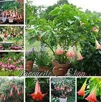 30 Pink Datura Seeds,Dwarf Brugmansia Angel Trumpets,bonsai exotic gorgeous flower