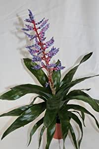 Bilbergia (maceta 15 cm Ø) - Planta viva de interior