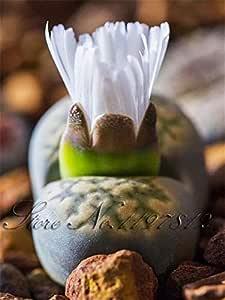 Shopvise 100 Semillas Lithops Pseudotruncatella Piedra viva Semillas raras suculentas Semillas de semillas de jardín de casa: Azul cielo