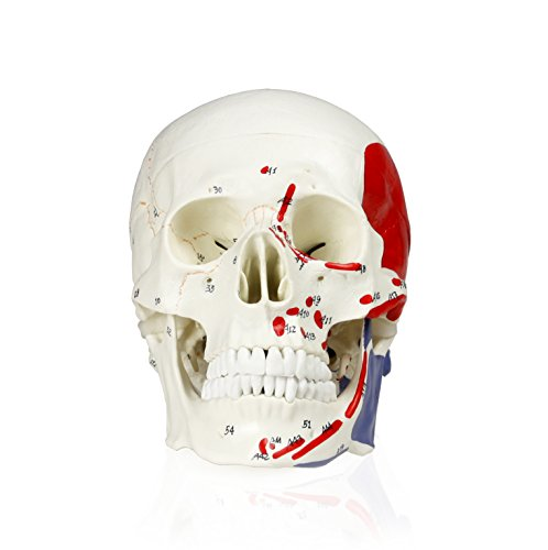Walter Products B10208 Human Skull Model with Markings, Life Size