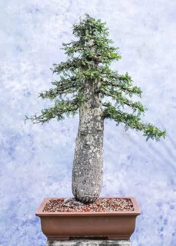 Green Paradise Operculicarya Decaryi Elephant Tree Bonsai Suitable Sapling Tree Live Plant With Pot Amazon In Garden Outdoors