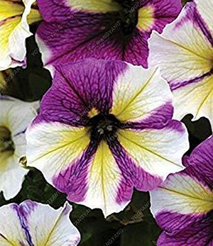 Prime yellow00 Seed 9 Colors calibrachoa Organic Petunia Seed Mixed 'Garden Petunia' Very Beautiful Flower Seed-Land Miracle Yellow (Seed Petunia Organic)