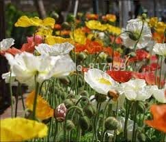 Iceland poppy mix color 1000 seeds * Lovely Garden Flowers*Easy grow* CombSH B52