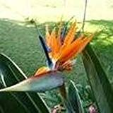 10 Seeds Queen's Bird-of Paradise (Strelitzia reginae) Landscaping Flower