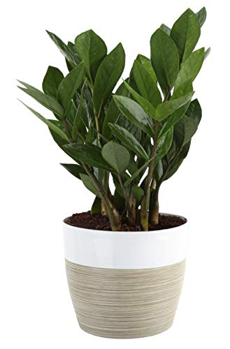 Costa Farms ZZ Zamioculcas zamiifolia, Indoor Plant, 12-Inch Tall, White-Natural Décor Planter (Best Indoor Office Plants)