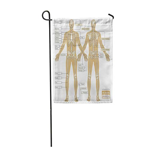 Tarolo Decoration Flag Brown Body Diagram of The Human Skeleton Main Parts Skeletal System Gray Anatomy Back Thick Fabric Double Sided Home Garden Flag 12