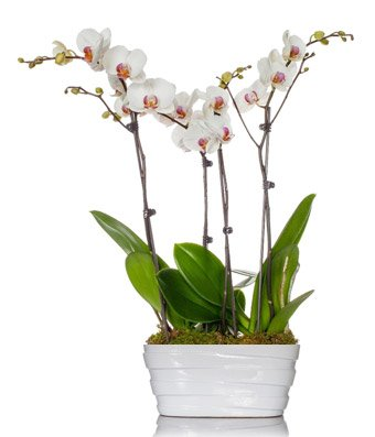 From You Flowers - Orchid Phalaenopsis Quad Stem Plant by From You Flowers